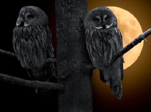 フクロウ 夜 うるさい