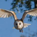 朝から聞こえるフクロウのような鳴き声は?
