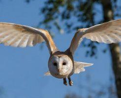 フクロウ 鳴き声 朝