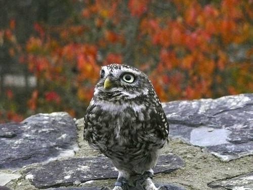 山口県と岡山県で生息する保護が必要なフクロウとは