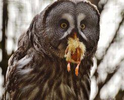 フクロウ 野生 餌