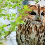 野生のフクロウを保護して飼育できるの?