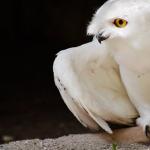 一時期はペットとしてブームに!小さくてかわいい?白フクロウの値段や生態は?