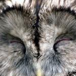 フクロウの嬉しい時の感情表現って?