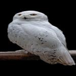 フクロウは首の角度を360度回すことが出来る?骨はどうなっているの?