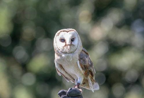 フクロウ 耳 眼球 目
