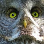 フクロウの大きい目が怖いと思うのは何故?