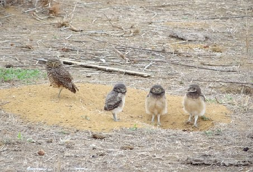フクロウ 繁殖 時期