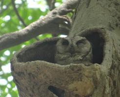 フクロウ 営巣 時期 場所
