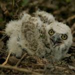 フクロウの赤ちゃんって可愛いの?その値段や飼育について