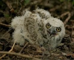 フクロウ 赤ちゃん 可愛い 値段 飼育