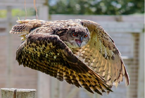 フクロウ 換羽 時期