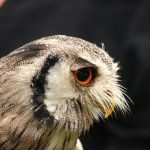神奈川県、横浜、千葉県で生息されているフクロウの種類とは