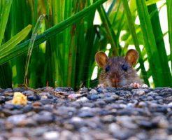 フクロウを助けたら恩返しにネズミを持ってきてくれ振舞ってくれた話とは