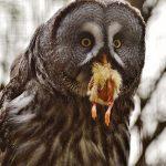 野生のフクロウは様々な生き物を餌にしている!?