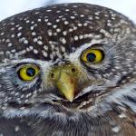 フクロウの目が動かない理由や構造について