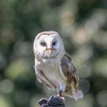 フクロウの耳、眼球、目のしくみ