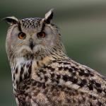 フクロウの耳の位置はなぜ非対称なの?