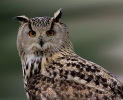 フクロウ 耳 位置 非対称