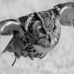 フクロウの速さと強さについて