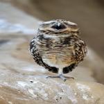 フクロウが1本足で立つ理由について
