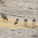 フクロウの繁殖時期やヒナの入手方法について