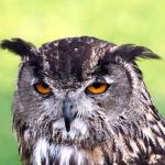フクロウの警戒心を表す行動や鳴き声について